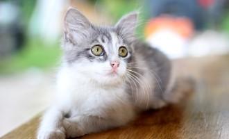 Les principales maladies des chats