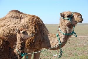 chameaux-maroc