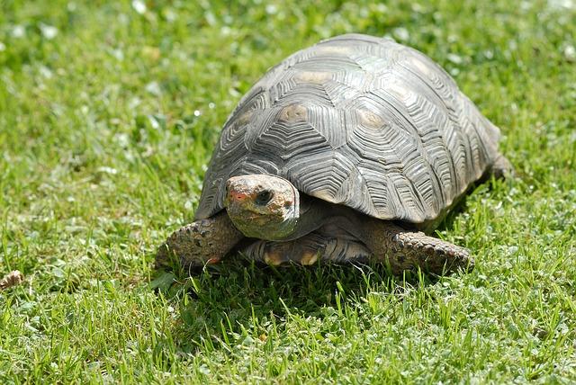 tortue-verte-reptile
