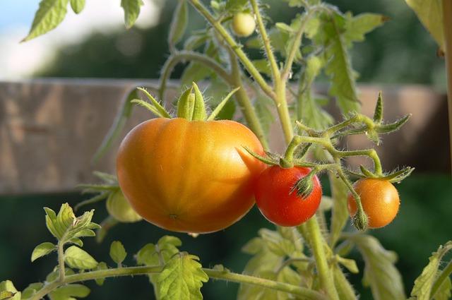 tomate-du-potager